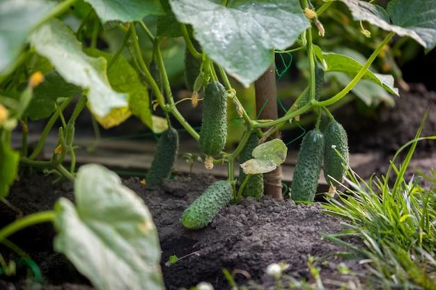 Closeup image of beautiful ripe cucumbers in garden