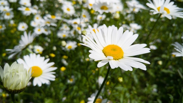 Closeup image of chamomile flowers growing on meadow in park at sunny summer day
