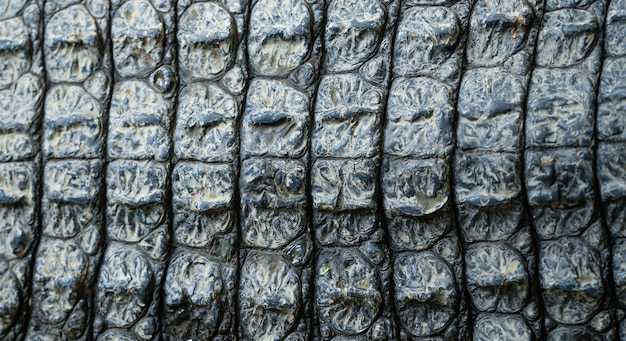 Closeup image of crocodile skin texture background