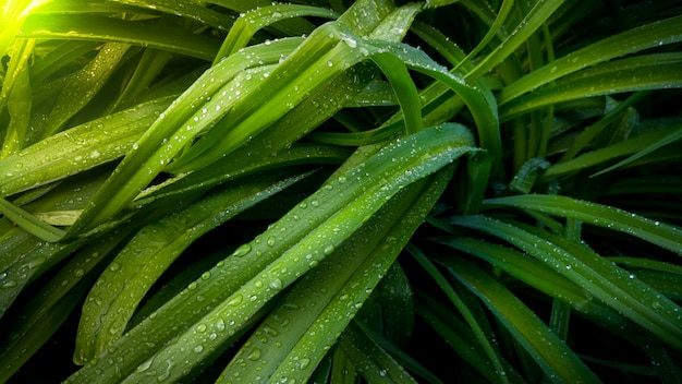 Closeup image of long fresh leaves covered in water droplets in garden at sunrise