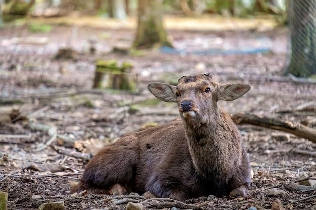 秋の公園に座っている野生の鹿のクローズアップ画像