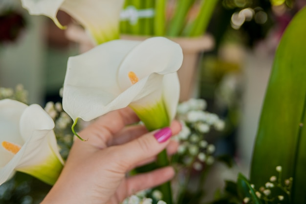 Closeup image, woman hands holding white arum lily, shot from above, top overview, lily of the nile (calla)