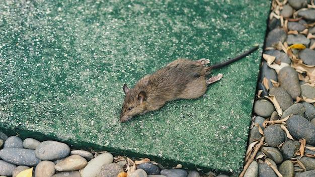 殺鼠剤で死亡したネズミやネズミのクローズアップ画像は小動物です