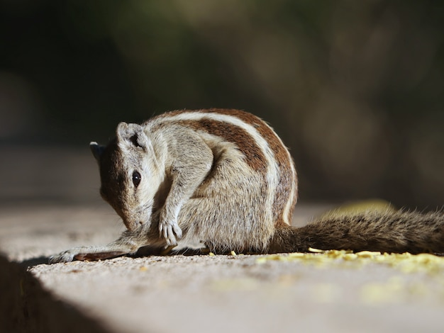 Closeup of an indian palm squirrel on the concrete surface