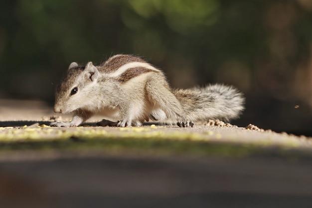 Primo piano di uno scoiattolo indiano a terra