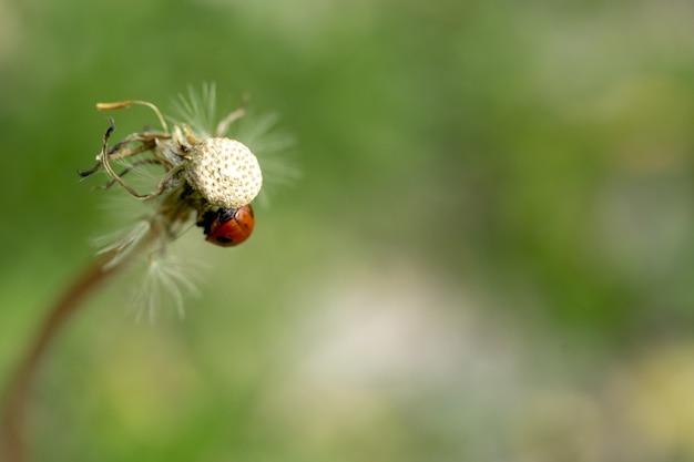 Closeup of a ladybug on a common dandelion