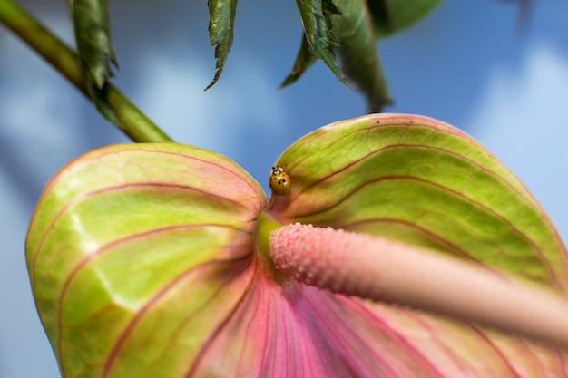 Closeup ladybug crawling on fresh anthurium flower