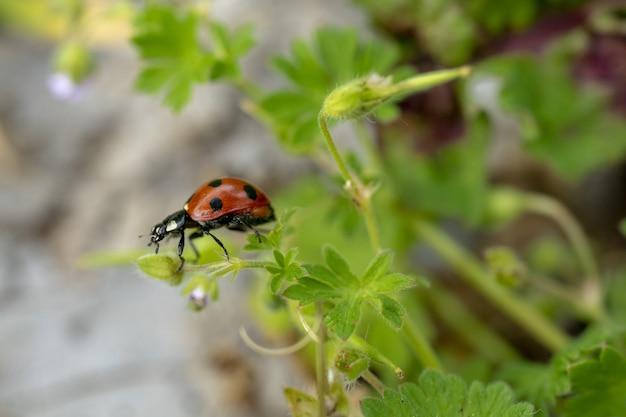 Closeup of a ladybug on a green leaf