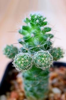 근접 촬영 ladyfinger 선인장, 선택적 초점을 가진 미니 가시 다육 식물