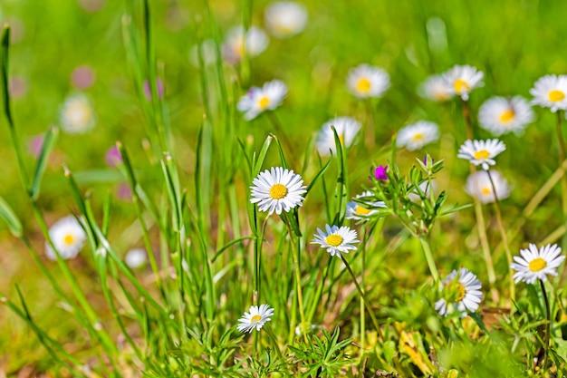 ぼやけている緑の草と白いカモミールの花のクローズアップ風景ショット