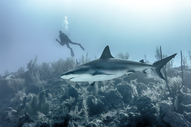 Closeup of a large shark swimming underwater above reefs with a scuba diver in the background