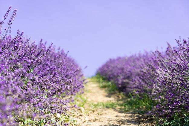 Closeup lavender field summer landscape.