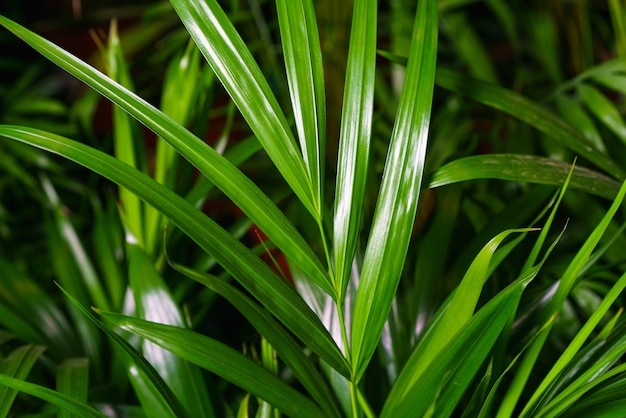 Closeup on the leaves of a bamboo palm chamaedorea seifrizii of indoor plants green leaves of indoor...