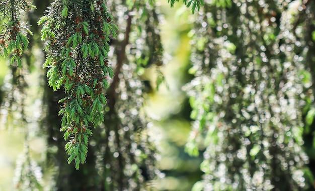 Closeup leaves of evergreen coniferous tree juniperus communis horstmann bokeh with light reflection