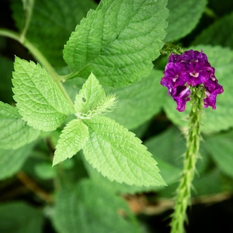 Closeup leaves and purple flower