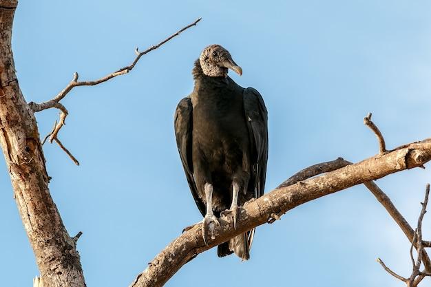 Primo piano di un avvoltoio testagialla minore appollaiato su un ramo di albero sotto la luce del sole