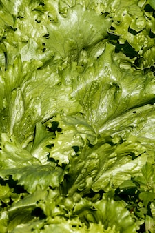 Closeup of lettuce leaves in the vegetable garden
