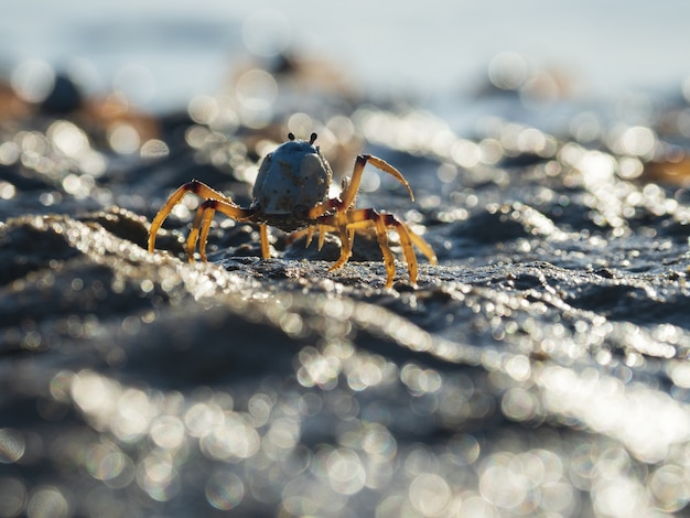 Closeup  of a light-blue soldier crab on the beach