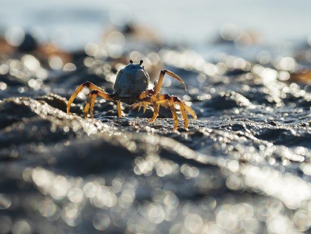 Primo piano di un granchio azzurro soldato sulla spiaggia