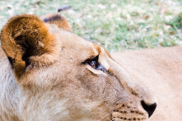Closeup of lioness in the savannah
