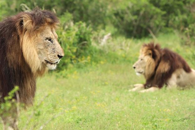 Primo piano di leoni in un campo coperto di vegetazione sotto la luce del sole