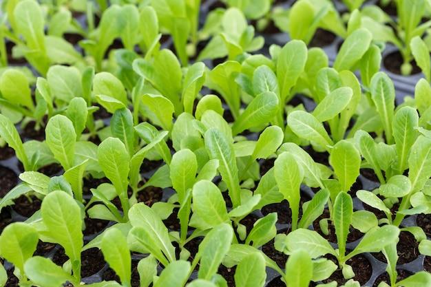 トレイのクローズアップ小さなコスレタス野菜の芽の種まき、自然農場での有機栽培の準備