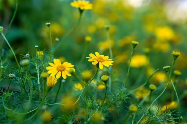 Маленькая желтая маргаритка крупного плана в саде общественного парка с естественным солнечным светом на расплывчатой предпосылке.