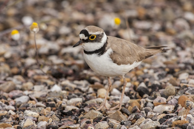 Closeup of a long-billed plover standing on stones under the sunlight with a blurry background