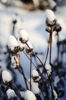 Closeup of long dry plants with thorns covered with the snow