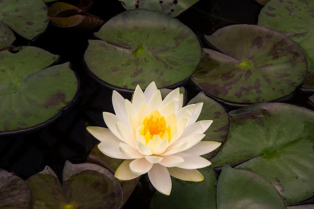 근접 촬영 연꽃
