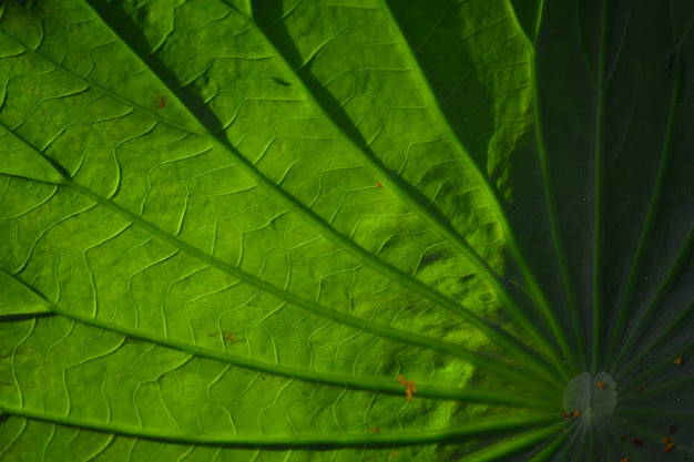 Closeup of lotus leaf for background