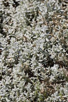 Closeup of louisiana wormwood for a natural whitishgreen background artemisia ludoviciana nutt
