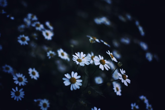 Closeup low-light photography of beautiful white daisies in a field