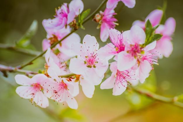 Macro del primo piano di un bellissimo fiore di ciliegio