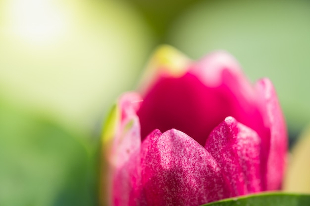 Closeup macro petal of pink water lily or lotus with green leaf in pond. side view and peace concept.-image.