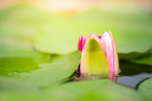 Closeup macro petal of pink water lily or lotus with green leaf in pond.