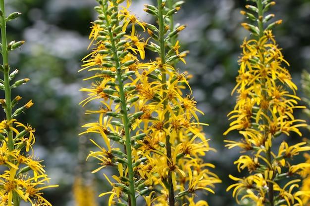 노란색 염소 꽃 클로레아의 근접 촬영 매크로 촬영