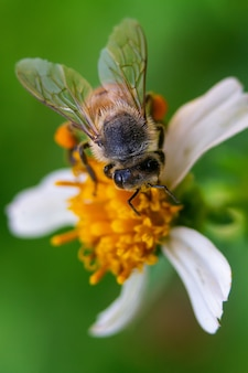 Closeup macro shot of a bee pollinating a flower