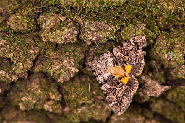 Closeup macro shot of catocala conversa moth in a natural environment