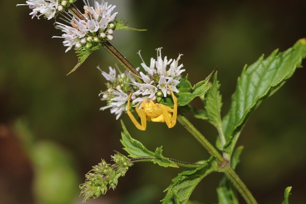 Closeup macro shot of a tiny yellow spider crawling on a flower
