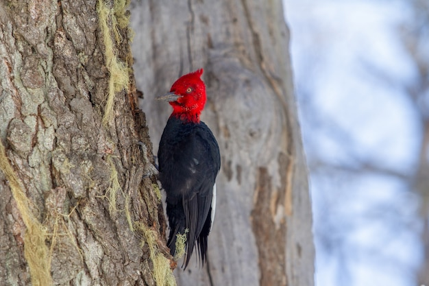 Closeup of a magellanic woodpecker on a tree with a blurry background in patagonia, argentina