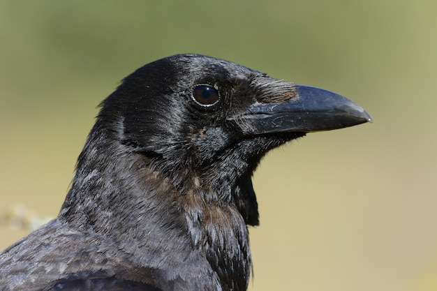 Closeup of magnificent raven with black eyes