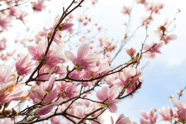 Closeup of magnolia tree blossom with blurred background and warm sunshine