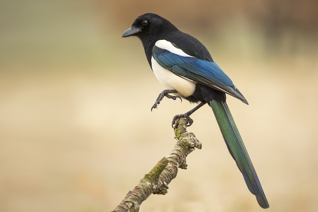 Closeup of a magpie standing on one leg on a branch against a blurry background