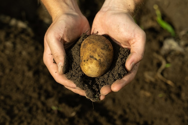 Closeup male farmer hands peel potatoes from the ground