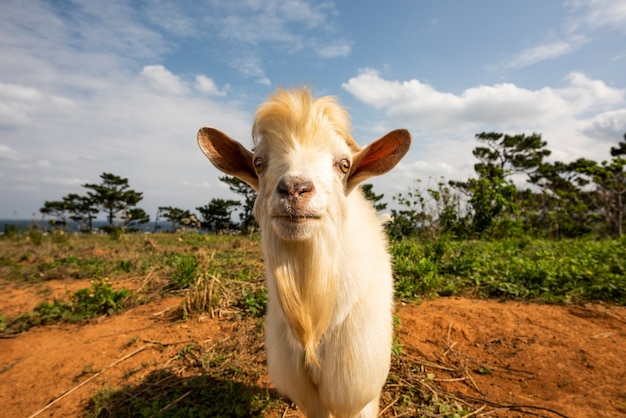 Closeup of a male goat face with long blond beard on red land iriomote island
