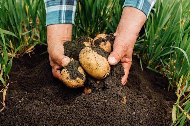 Closeup of male hands farmer digs up potatoes from fertile garden soil.