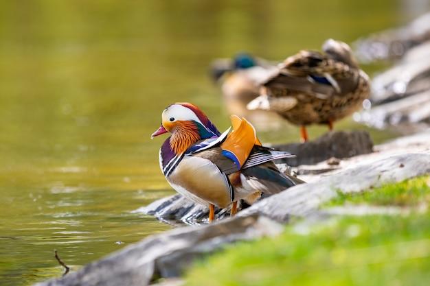 Closeup male mandarin duck or aix galericulata before swimming in prague