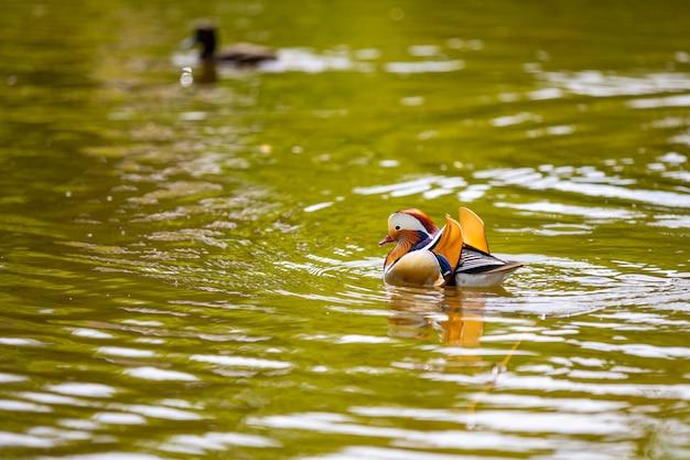 Closeup male mandarin duck or aix galericulata swimming in prague