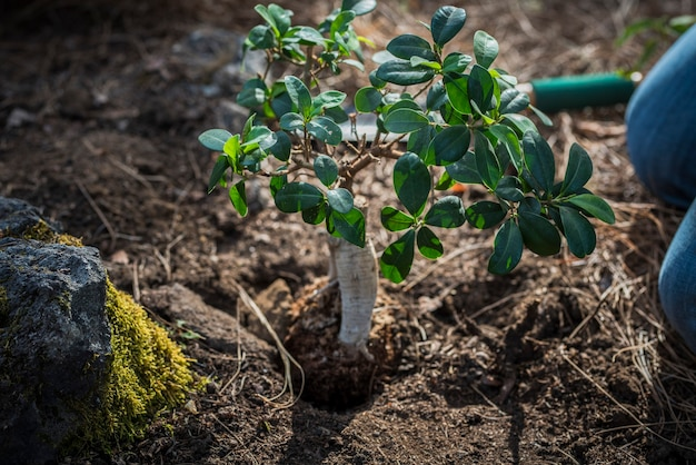 Closeup of man or woman planting a small but cute tree or plant on the land to do this growth